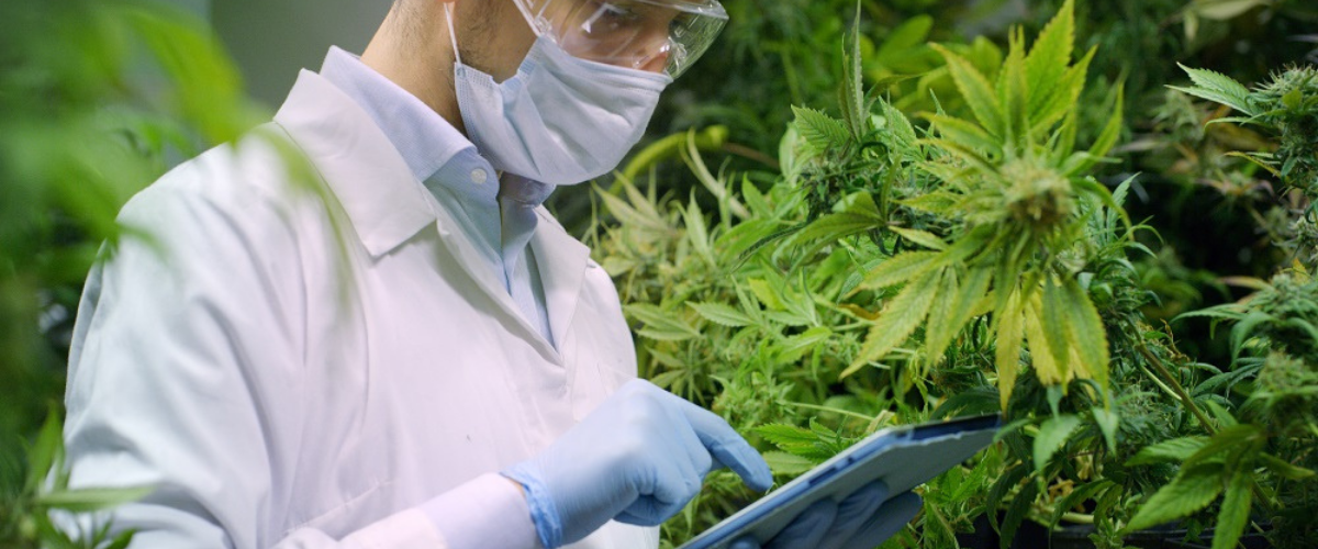 Portrait of scientist with mask and glasses checking hemp plants
